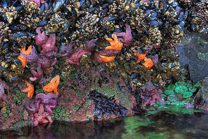 bandon-oregon-coquillle-point-tidepools-sea-stars