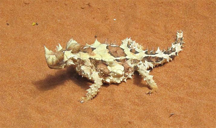 australia-thorny-devil-715