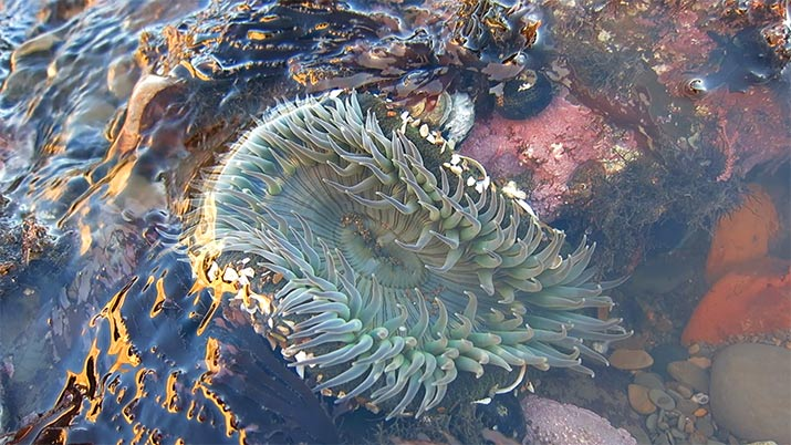 sunburst-anemone-duxbury-reef-point-reyes-california-715