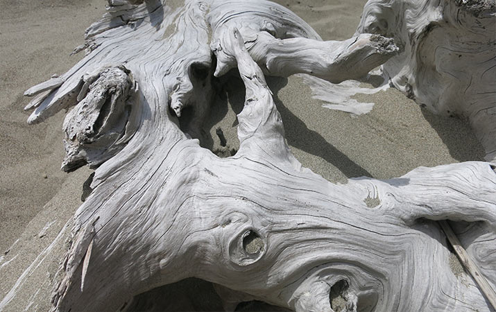 driftwood-dungeness-spit-washington-715