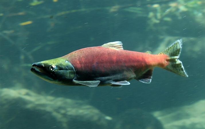 lake-tahoe-kokanee-salmon