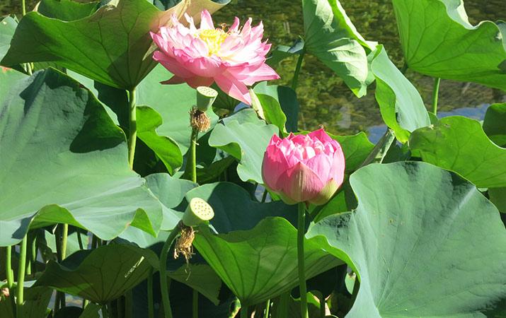 lan-su-chinese-garden-portland-lotus-flowers-715