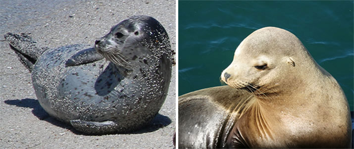 Harbor-seal-and-California-sea-lion