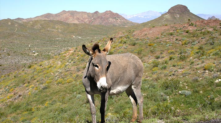 wild-burro-oatman-arizona