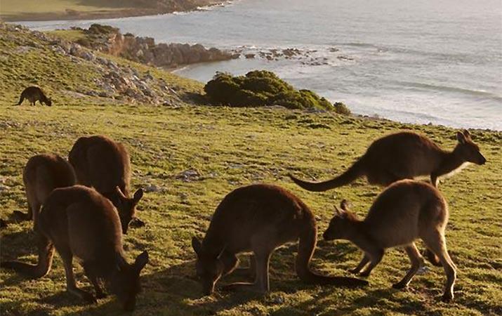 australia-kangaroos-715