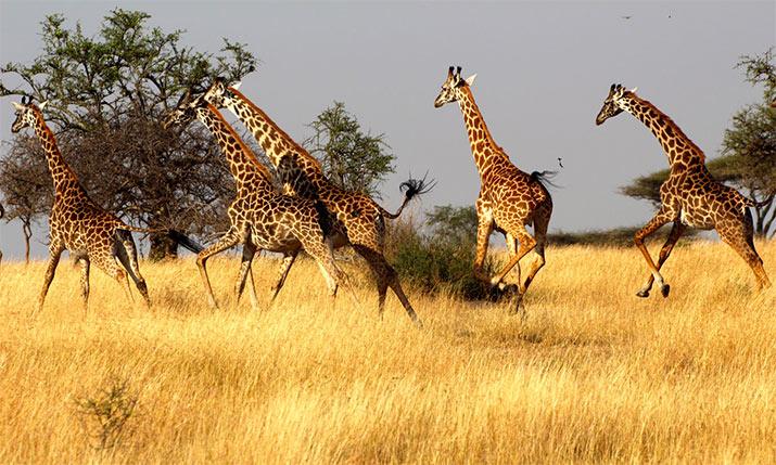 tanzania-safari-giraffes-715