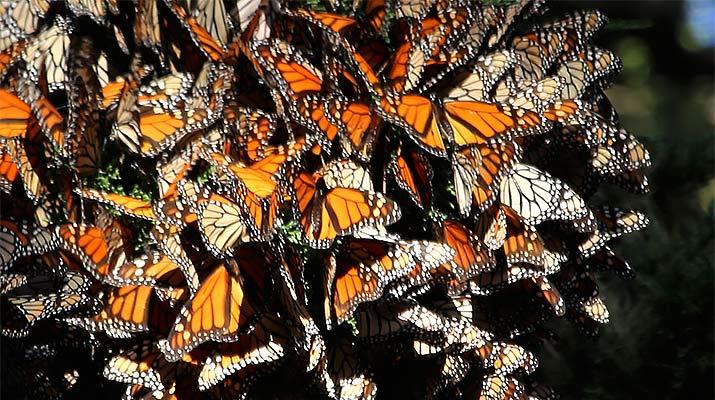 monterey-monarch-butterfly-sanctuary-715