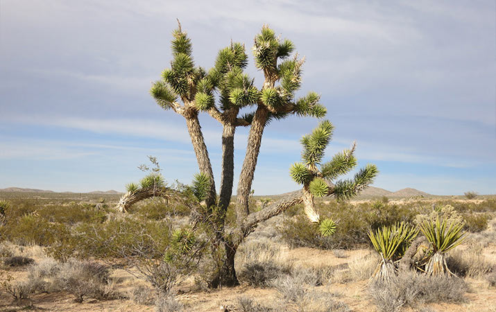 mojave-national-preserve-joshua-trees-715