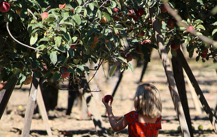 sonoma-child-picking-apples-715