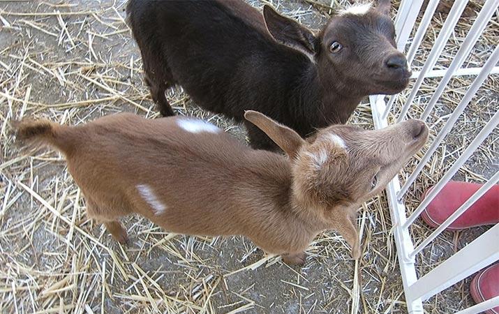 sonoma-county-pygmy-goats-715