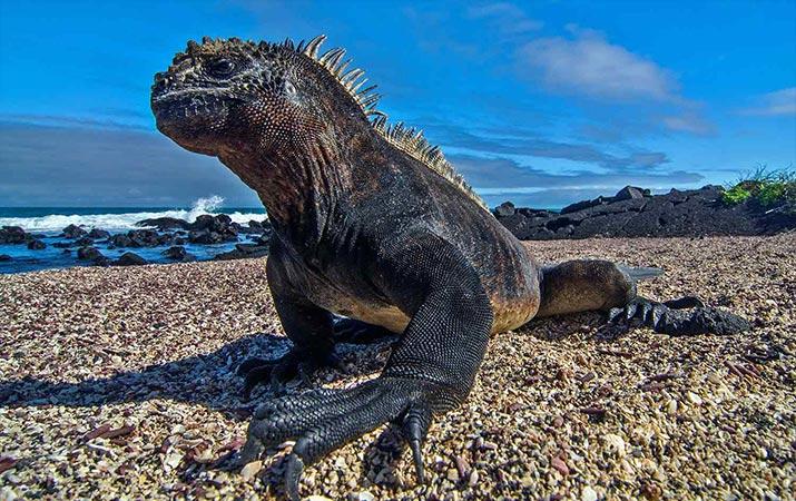 classic-journeys-galapagos-marine-iguana-715