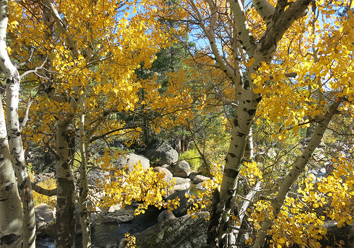 hope-valley-fall-aspen-trees-715