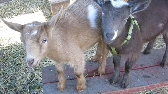 pygmy-goats-petaluma-715