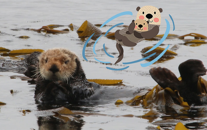 morro-bay-sea-otters-715