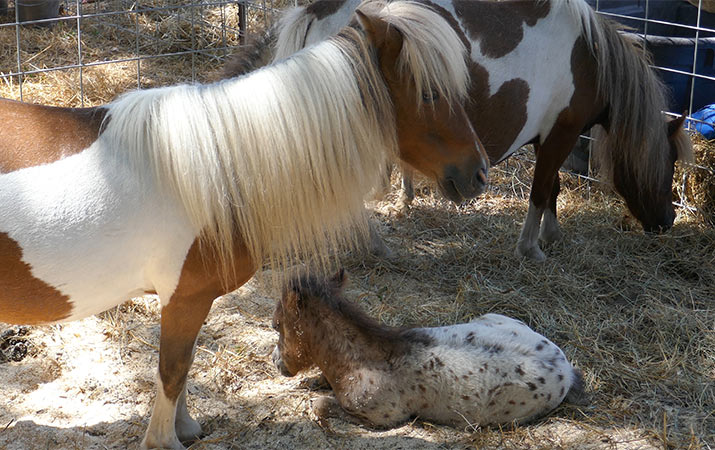 travelforkids-gravenstein-apple-fair-sebastopol-miniature-horses-715