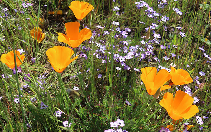 sonoma-sugarloaf-ridge-state-park-wildflowers-california-poppies