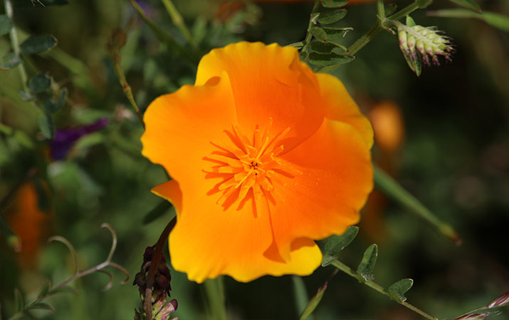 sonoma-sugarloaf-ridge-state-park-wildflowers-california-poppy