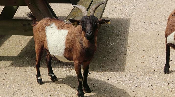 jardin-dacclimatation-paris-bois-de-boulogne-little-farm-goat-715